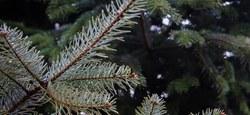 Vente de sapins de Noël par le patro de Habay-la-Neuve